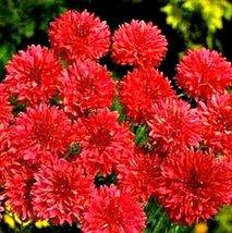 "Non GMO Bulk Cornflower/Bachelor Button Seeds -""Tall Red"" Centaurea cyanus (1 lb - $24.70"