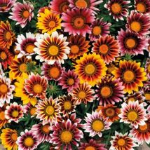 SHIPPED From US,PREMIUM SEED:25 Particles of GAZANIA SPLENDENS MIX,Hand-... - $18.99