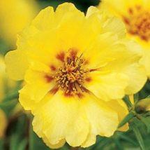 160 Seeds - Yellow Mexican - Rose Sun Plant – Gardening – Perennials - SBC - $21.95