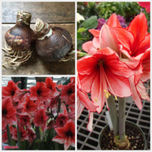 1 Large Bulbs Tall Amaryllis Charisma Hippeastrum Red White Size 28/30 - $22.99