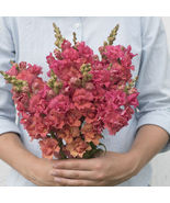 Madame Butterfly Bronze Seed,Costa Silver Snapdragon Flower Seeds - $21.00