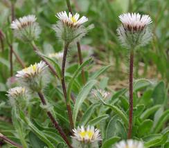 15 Erigeron uniflorus Seeds, Oneflower Fleabame - $8.95