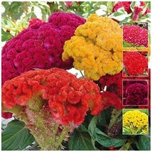 200 Seeds of Chief Mix Celosia - $22.28