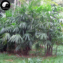 Buy Guanyin Bamboo Tree Seeds 60pcs Plant Chinese Bamboo For Bamboo Garden - $9.99