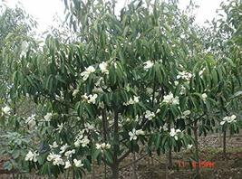 8 Seeds Extremely Fragrant Ornamental - $16.83