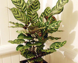 S bag calathea seeds potted seed flower seed bonsai seeds garden plant germination thumb155 crop