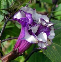 SHIP FROM US 1 Gram Seeds Double Purple Devil's Trumpet,DIY Flower Seeds RM - $16.99