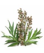 3,000 Seeds Artemisia Vulgaris Garden Seeds TkSmartbuy - $26.73