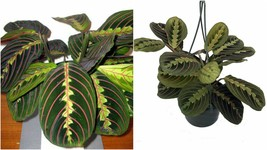 "Live Plant Maranta Red Prayer Easy to Grow Houseplant 6"" Hanging Basket ... - $73.99"
