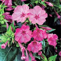 Four O'clock Pink Trumpet, 50 Seeds Beautiful Vivid Pink Colored Bloom - $5.99