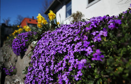 20 Aubrieta Cultorum Seeds Cascade Purple Flower Seeds Superb Ground Cover  - $4.92