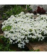 4 variety Very Graceful Alpine Rockcress Flower Fresh Seeds #IMA47 - $14.99+
