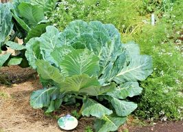 SHIPPED FROM US 1,200+GEORGIA COLLARD GREENS Organic Non-Gmo Seeds, CB08 - $17.00