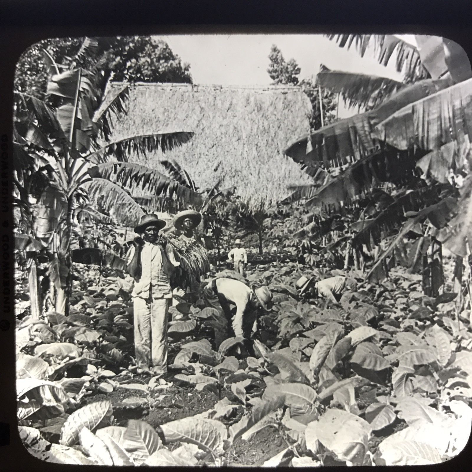 Vtg Keystone Magic Lantern Glass Slide Photo Workers In Tobacco Field Cuba