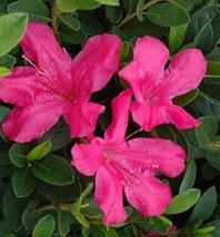 1 Starter Plant of Autumn Sangria Encore Azalea - 1 Gallon - $83.10