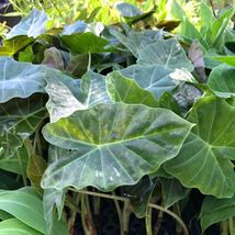 SHIP FROM US ELEPHANT EAR - Alocasia Williams Hybrid Cold Hardy WSP2 - $28.00