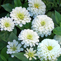 75 Seeds - White Zinnia Polar Bear - $8.99