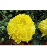 30 Seeds - Double Yellow Paeony Aster Peony Callistephus #SFB15 - $17.99