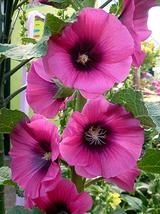 25 Halo Cerise Hollyhock - Alcea rosea Seeds - $12.85