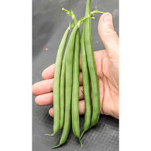 Seychelles Bean Seed ,Vegetable Seeds, 250 Seeds,  Ship From US - $20.00
