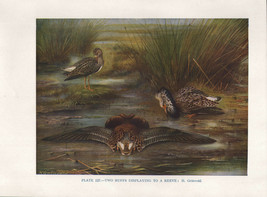 VINTAGE BIRD PRINT ~ TWORUFFS DISPLAYING TO A REEVE - $37.08