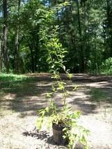 Wonderful Pomegranate Tree 1 Gal. Healthy Live Plant Health Food Trees H... - $33.90