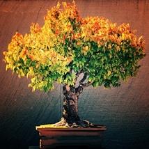 100 Seed Japanese Zelkova Zelkova Serrata Outdoor, DIY Beautiful Tree DO - $19.99