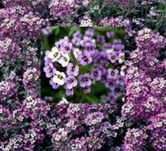 SHIP FROM US 2,400 Royal Sweet Carpet Alyssum Seeds, ZG09 - $19.56