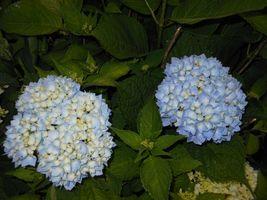 Nikko Blue Mophead Hydrangea  image 4