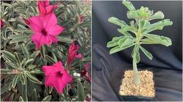 1xFuschia Twilight Adenium Obesum Desert Rose Plant Seedling 6-8 inch - $125.00