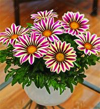 100 of Gazania flower seeds, Semillas Gazania Splendens Chrysanthemum G 01 - £0.67 GBP