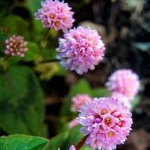 Flower Seeds 4 Variety (Polygonum Capitatum) Pinkhead Smartweed #IMA47 - $14.99+