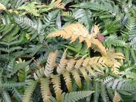 Golden Mist Wood Fern - Dryopteris labordei - 4 inch Pot - $31.79