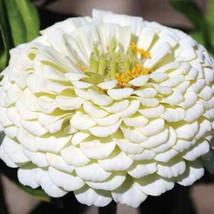 50 Seeds - Zinnia Yoga White Flower - $9.45
