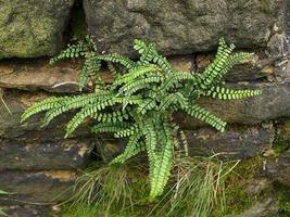 Maidenhair SPLEENWORT fern 10 rhizome-(asplenium platyneuron) image 4