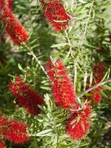 BOTTLRBRUSH Red 1000+ seeds - $26.99