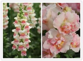 100 Snapdragon Appleblossom Antirrbinam Majus Flower Seeds - $8.50