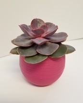 "Live Succulent in Red Self-Watering Pot - Echeveria Red Sky, 3"" Plastic Planter - £11.39 GBP"