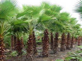 5 Mexican Fan Palm Seeds-1086 - $2.98