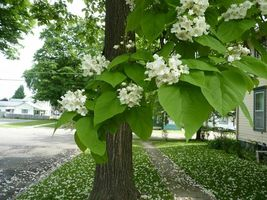 Catalpa tree qt. pot image 4