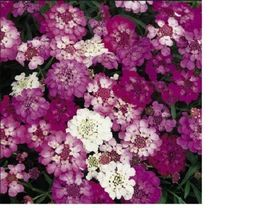 SHIP FROM US Candytuft, Dwarf Fairy Mix Flower Seeds- Fresh & Hand Packa... - $6.00