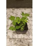 Gynostemma pentaphyllum Live Plant - $5.00