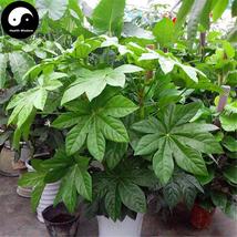Buy Fatsia Japonica Tree Seeds 120pcs Plant Shrub Tree Ba Jiao Jin Pan - $9.99