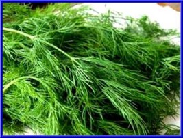 Dill - Long Island Mammoth! 200 seeds! MAKE YOUR OWN DILL PICKLES! COMB. - $14.34