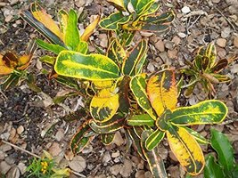 1 Cutting of Codiaeum 'Pappey' Pappey Croton - $43.56