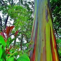 50 Seeds Rainbow Eucalyptus Gum Tree Seeds Eucalyptus Deglupta Seed - $20.73