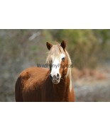 Chincoteague Stallion Ken Photo - Pick One Image - Various Sizes - $7.50+