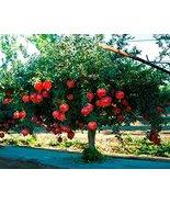 2 Live Plants Pomegranate Fruit Tree Wonderful Punica Granatum Shipped B... - $40.58