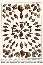 Robin Redbreast Tritons, Miter Shells, Bloodsucker Miters, Little Fox Miters, Pl - $19.99+