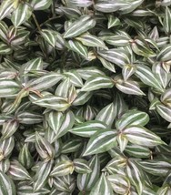 6 Fresh Cutting - Wandering Jew Mini Tradescantia Zebrina #HWG13 - $19.99